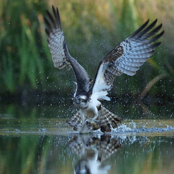 Osdprey Take Off With Prey by NeilSchofield