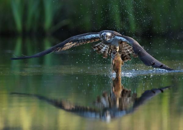 Osprey with Fish by NeilSchofield