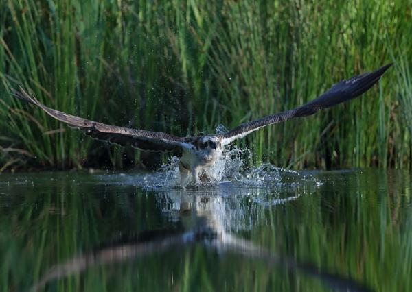 Osprey Loosing Fish by NeilSchofield