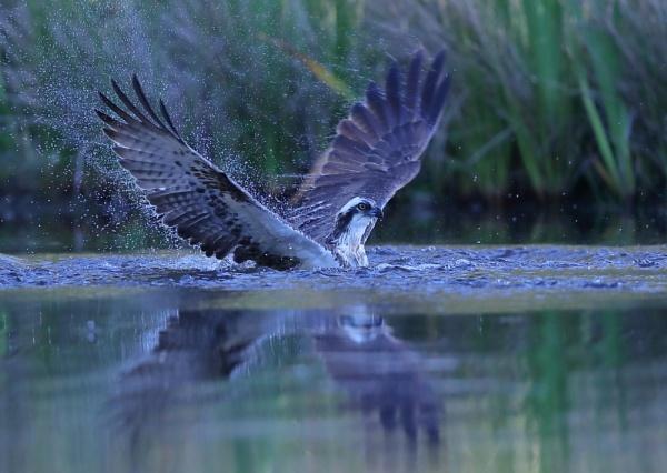 Osprey in Water by NeilSchofield