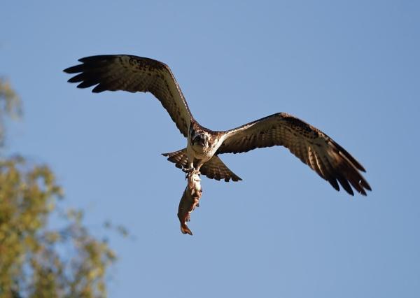 Osprey in Flight With Catch by NeilSchofield