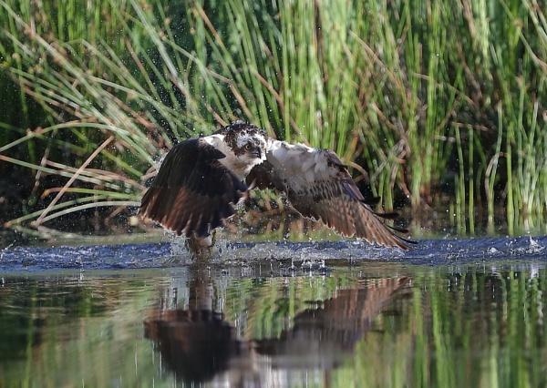 Osprey Take Off with Kill by NeilSchofield