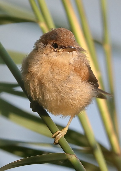 Juvenile Reed Warbler by NeilSchofield