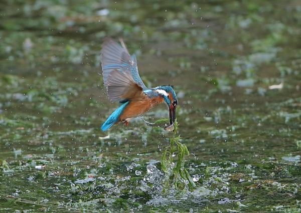 Kingfisher Fishing by NeilSchofield