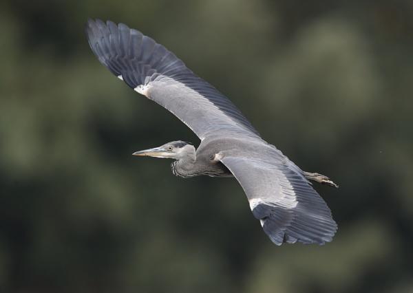 Grey Heron in Flight by NeilSchofield