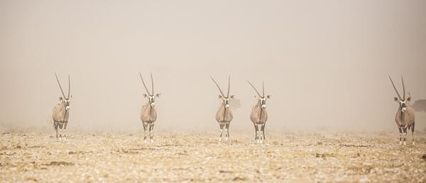 Duststorm Gemsbok by rontear