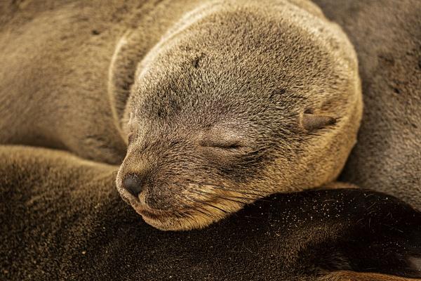 Asleep Cape Fur Seal by rontear