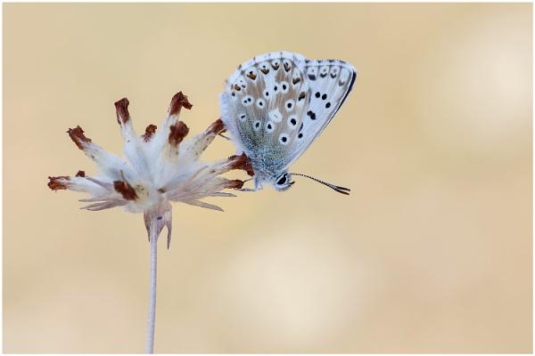 Chalk-Hill Blue. by NigelKiteley