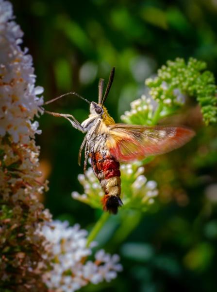 Hemaris fuciformis (thanks Mike) by chavender