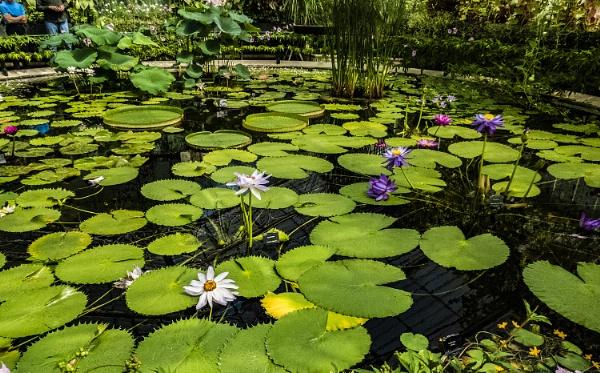 lily pond Wisley by derekp