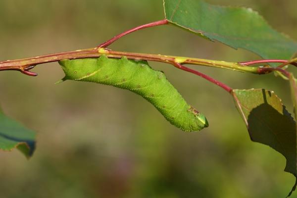 Eyed Hawk-moth by ShaunsPics