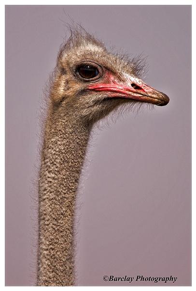 Ostrich portrait by fatfranksfolley