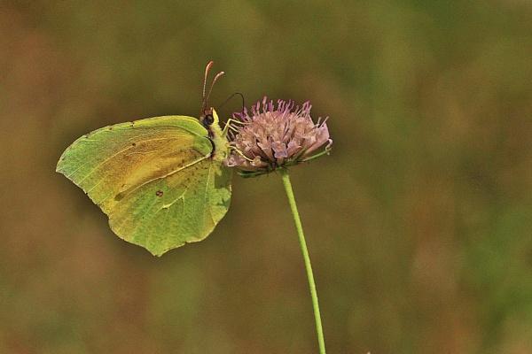 Brimstone Butterfly by georgiepoolie