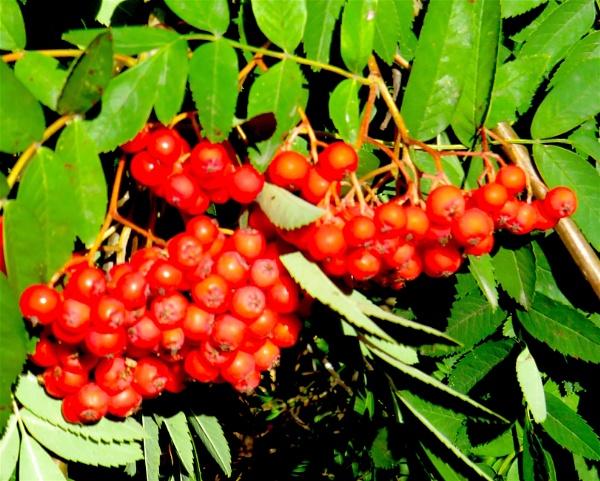 Rowan berries in shadow. by ddolfelin