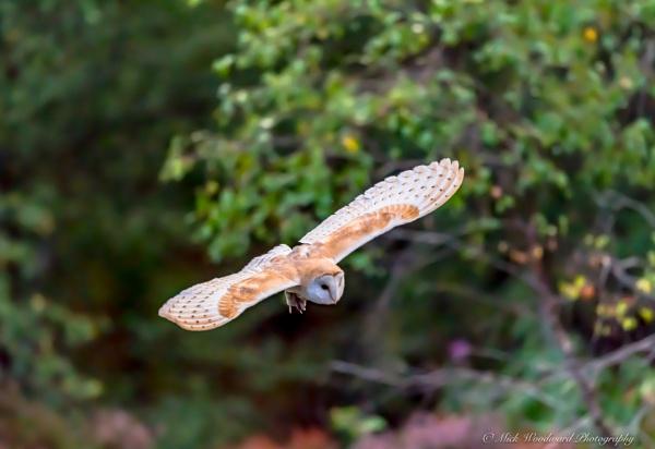 Barn Owls by kojak