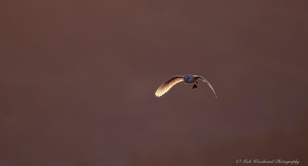 Barn Owl by kojak