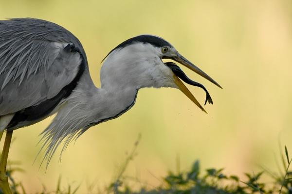 Grey heron by AlexAppleby