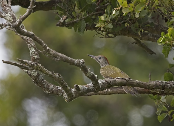 Juvenile Green woodpecker by Andy_brown