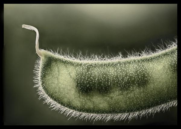 Sweet Pea Pod by iangilmour