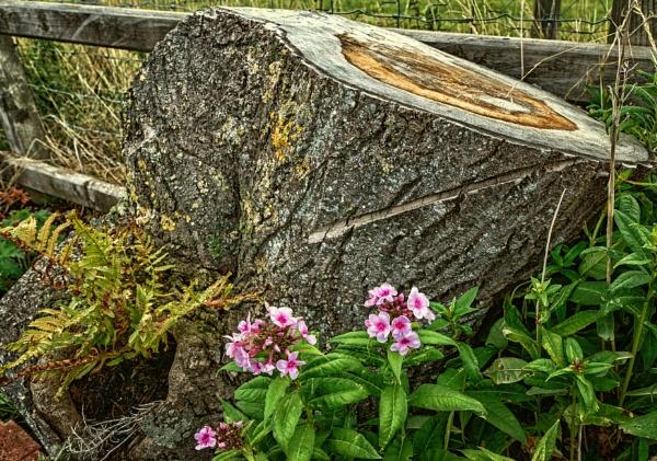 Tree stump by BillRookery