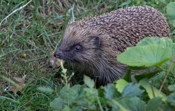 Hedgehog \'Erinaceus europaeus\' by SocksAndStuff