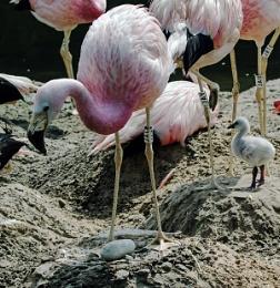 Flamingo, egg, and chick