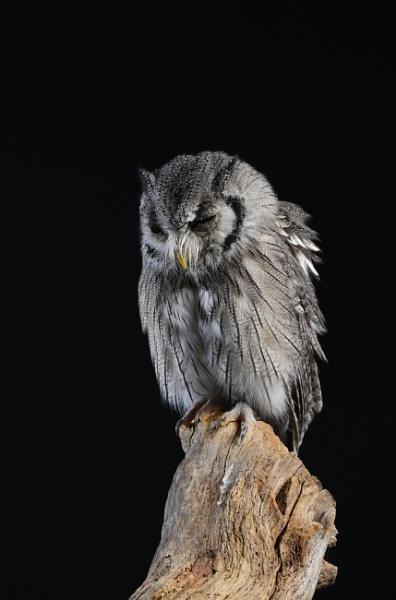 Southern white faced owl (ptilopsesvgranti) by Glenn1487
