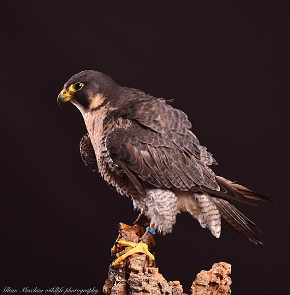 Peregrine falcon by Glenn1487