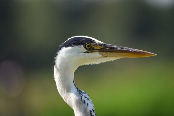 Grey heron. by Glenn1487
