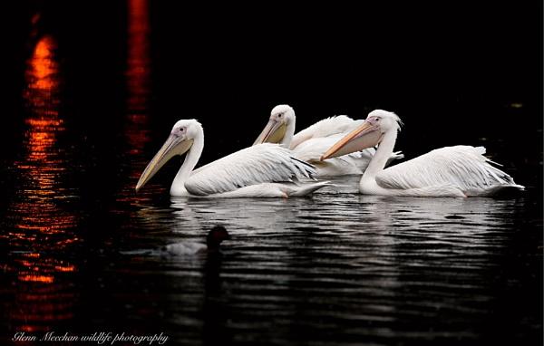 Pelicans by Glenn1487