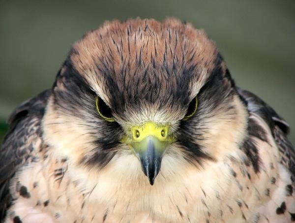 Bird of Prey by starckimages
