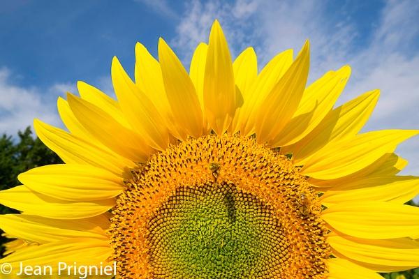 Sunflower story by Jprigniel