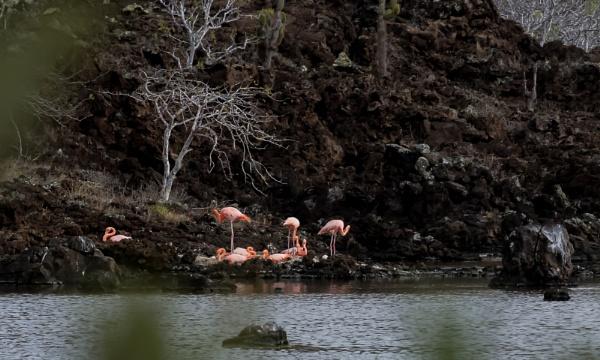 Pink Flamingoes - Galapagos by barryyoungnz