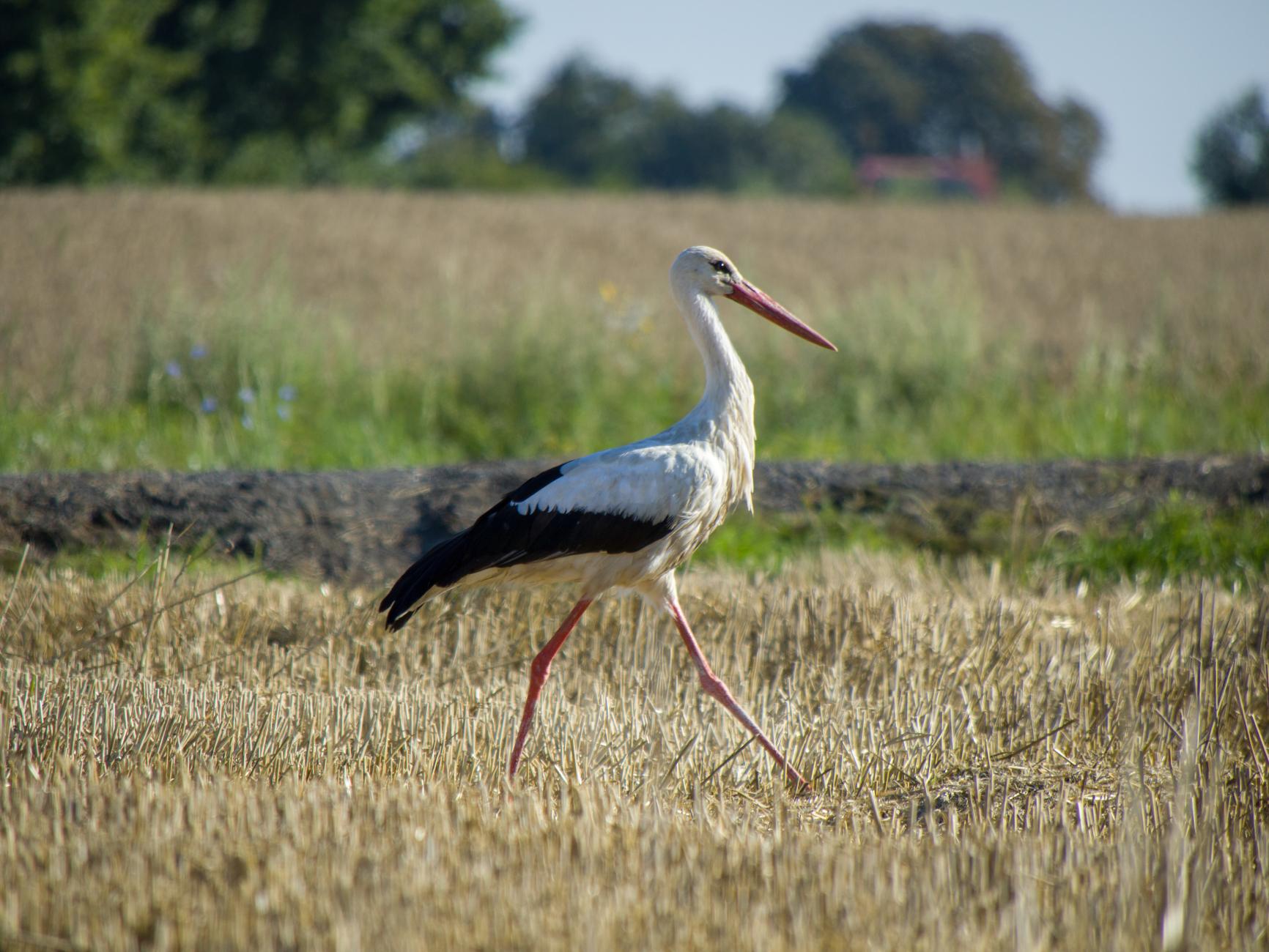 Stork in field near my home