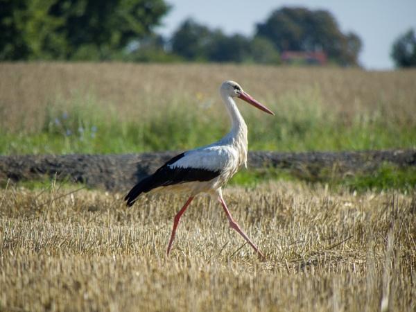 Stork in field near my home by WioletaJ