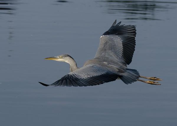 Heron Over Water by chensuriashi