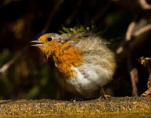 Rockin\' robin by oldgreyheron