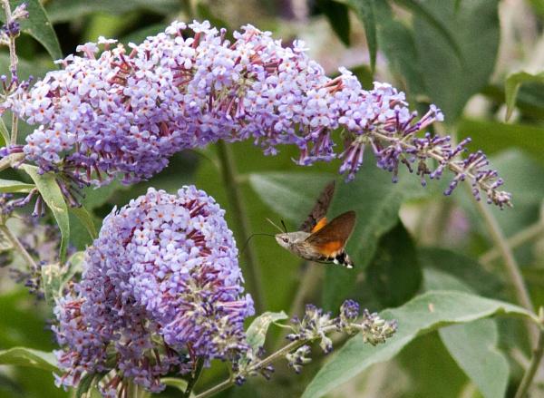 Humming bird hawk moth by oldgreyheron