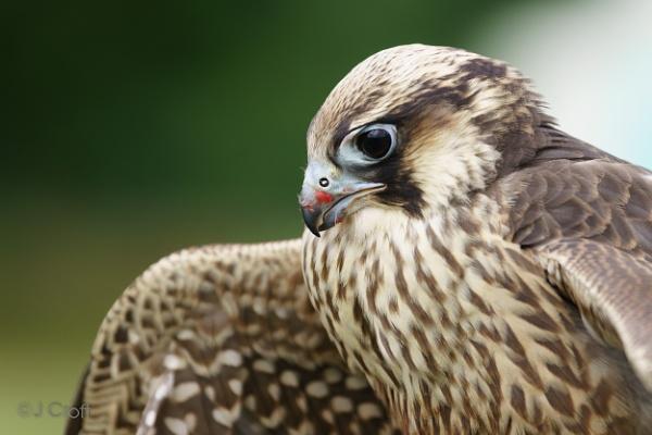Hawk by JMCroft