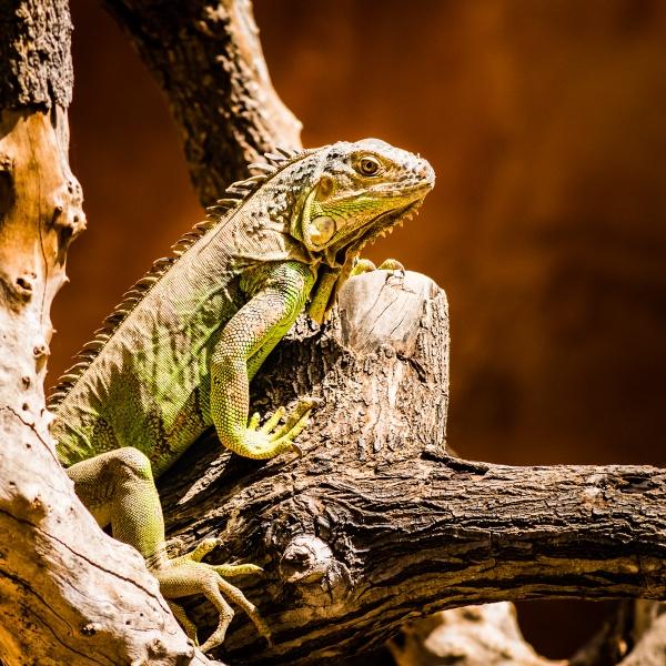 Iguana by JFitz
