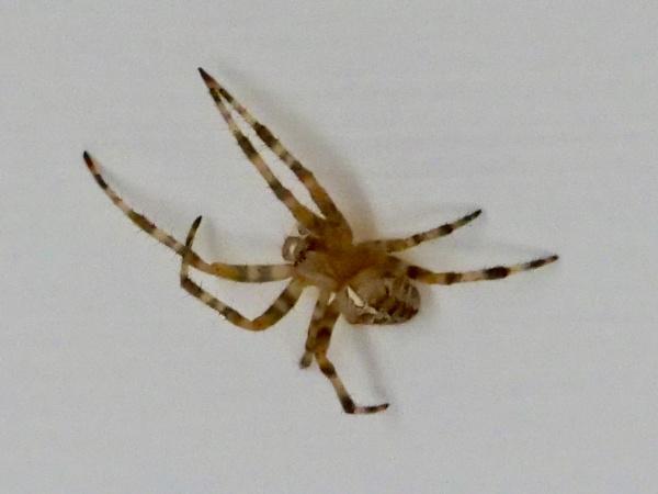 garden spider by sparrowhawk