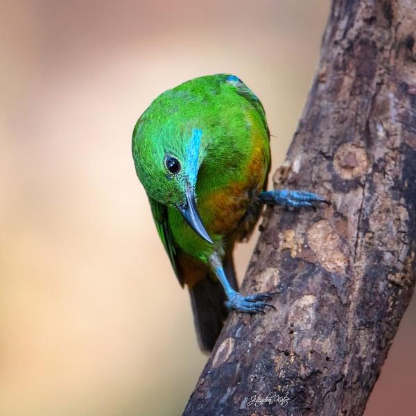 Orange bellied leaf bird, female. by drjskatre