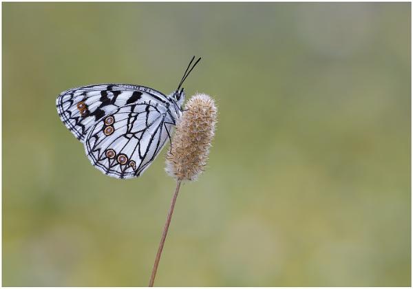 Spanish Marbled White - Melanargia Ines. by NigelKiteley