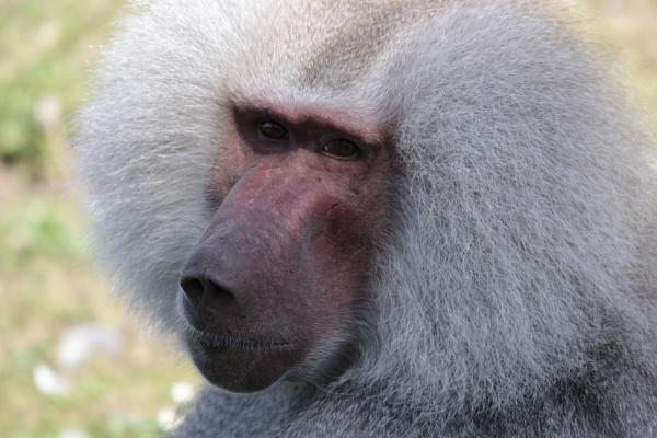 Male Baboon by billkouk