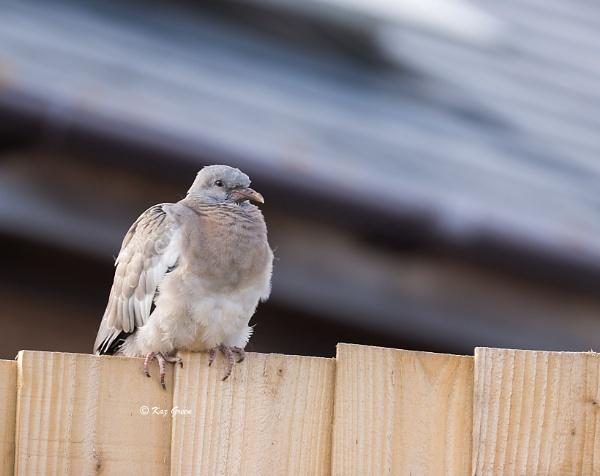 Juvenile Wood Pigeon by kaz1