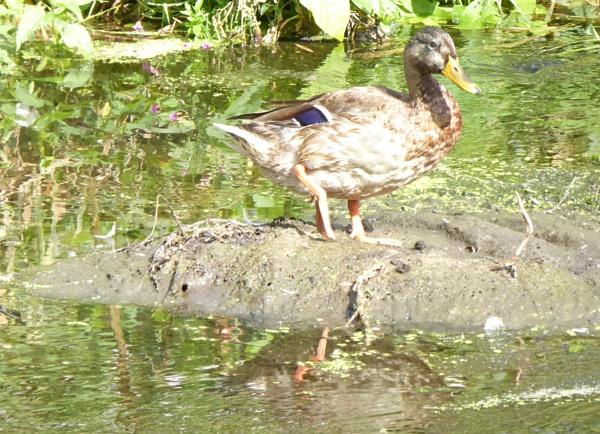 Ducking out by Gypsyman