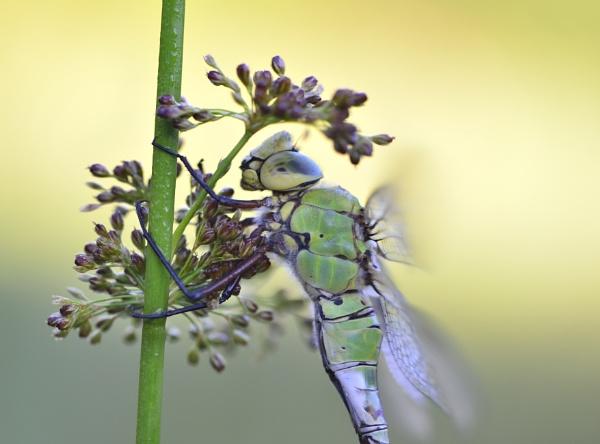 drsagonfly