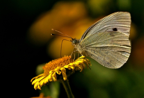 Large white butterfly by georgiepoolie