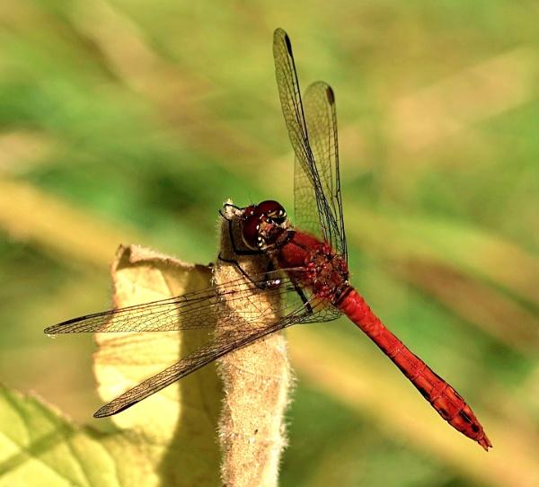 Ruddy darter dragonfly by georgiepoolie