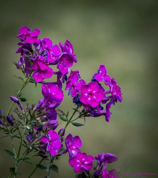 Ormila flowers . by kuvailija
